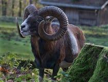 Horn, Argali, Fauna, Terrestrial Animal Stock Photos
