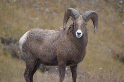 Horn, Argali, Terrestrial Animal, Goat Antelope Stock Image