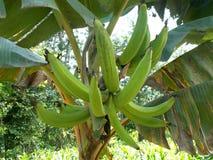 Horn-Banane trägt auf dem Baum, Musa spp Früchte Stockfoto