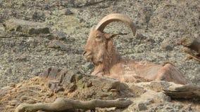 Horn, Barbary Sheep, Fauna, Argali royalty free stock photos