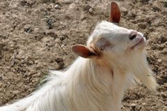 Horn beard goat Royalty Free Stock Photo
