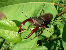Horn-beetle. The Horn-beetle is a big horned insect Stock Photos