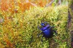 Horn beetle the green moss mat Stock Photos