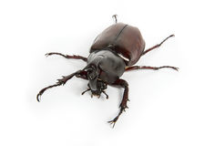 Horn beetle isolated on white. Rhinoceros beetle, Rhino beetle, Hercules beetle, Unicorn beetle, Horn beetle isolated Stock Images