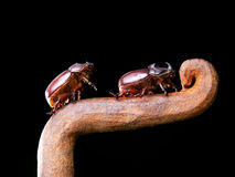 Horn beetles Royalty Free Stock Photos