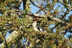 Horn bill bird Stock Photos