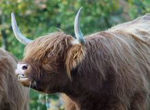 Horn, Cattle Like Mammal, Fauna, Wildlife stock photos