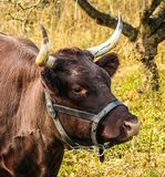 Horn, Cattle Like Mammal, Fauna, Wildlife Stock Images