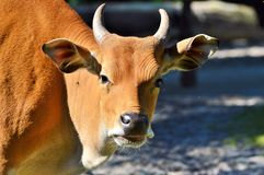 Horn, Cattle Like Mammal, Wildlife, Fauna Royalty Free Stock Images