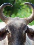 Horn della mucca è in forma di cuore Immagine Stock Libera da Diritti