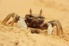 Horn-eyed ghost crab (Ocypode ceratophthalmus) Stock Photography