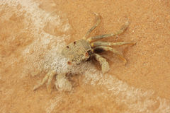 Horn-eyed ghost crab (Ocypode ceratophthalmus) Royalty Free Stock Photo