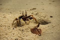 An Horn Eyed Ghost Crab royalty free stock images