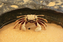 Horn-eyed ghost crab (Ocypode ceratophthalmus) Royalty Free Stock Images
