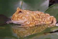 horn för groda för albinoceratophryscranwelli Royaltyfri Bild
