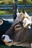 Horn, Fauna, Goats, Cattle Like Mammal