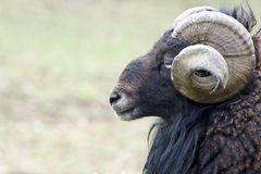 Horn, Fauna, Sheep, Terrestrial Animal Stock Image