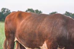 Horn- flyger på baksidan av en tjur Arkivfoto