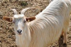 Horn goat Stock Image