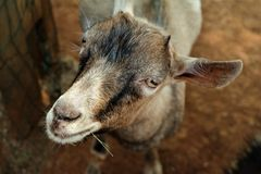 Horn, Goats, Fauna, Goat Royalty Free Stock Images
