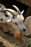Horn, Goats, Fauna, Goat Royalty Free Stock Photo