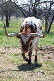 horn långa texas Arkivbilder