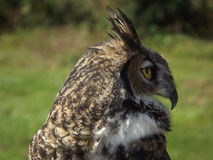 Horn Owl. Profile of a Horn Owl in Oregon Royalty Free Stock Image