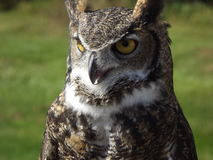 Horn Owl. A horn Owl taken in Oregon with bright yellow eyes rn Stock Photos