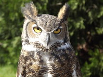 Horn Owl. A horn Owl taken in Oregon with bright yellow eyes rn Royalty Free Stock Photo