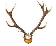 Horn på kronhjort av en enorm fullvuxen hankronhjort Royaltyfria Bilder