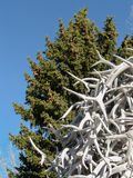 Horn på kronhjort och barrträd Royaltyfri Fotografi