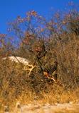 horn på kronhjortbowhunterrasslande Fotografering för Bildbyråer