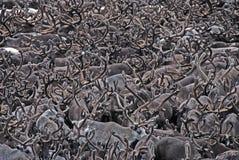 horn på kronhjorthjortar arkivfoto