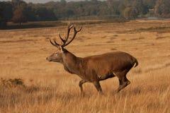 horn på kronhjorthjortrunning Royaltyfri Fotografi
