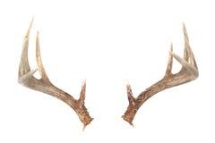 horn på kronhjorthjortwhitetail Royaltyfria Foton