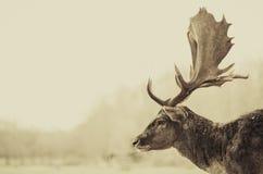 Horn på kronhjorttankar arkivfoton