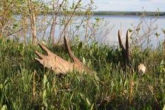horn på kronhjortälgskjul Arkivfoto