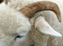 The Horn of a Ram Stock Photography