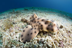 Horn shark Stock Photos