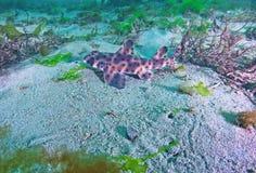 Horn Shark Stock Photo