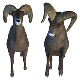 Horn Sheep Stock Images