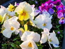 Horn violet in the spring. Horn violet spring flower hornviolet garden color  stiefmuetterchen bunt blume blumen summer stock images