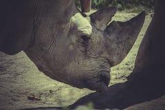 Horn, White rhino (Ceratotherium simum) Royalty Free Stock Images