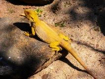 Hornada amarilla del lagarto en roca en el sol Fotografía de archivo