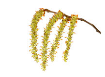 Hornbeam. Catkins on a white background Royalty Free Stock Photos