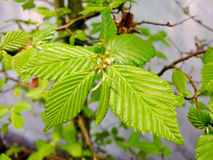 Hornbeam Royalty Free Stock Photography