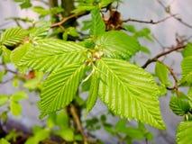 Hornbeam. Branch of hornbeam with fresh green leaves in spring Royalty Free Stock Photography