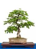 Hornbeam asiatico come albero dei bonsai fotografie stock libere da diritti