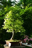 Hornbeam bonsai Royalty Free Stock Photo