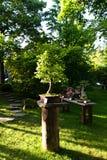 Hornbeam bonsai stock images